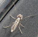 Midge - Chironomus - male