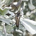 Stenocorus obtusus?? - Stenocorus obtusus