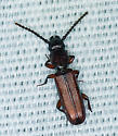 beetle bronze - Catogenus rufus