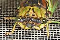 Urban cicada - Neotibicen tibicen