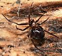 Dark Spider - Steatoda grossa