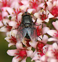 Muscidae or Calliphoridae? - Pollenia