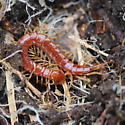 Red centipede (scolopocryptops sexspinosus) - Scolopocryptops spinicaudus
