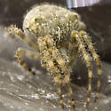 Barn Spider? - Araneus cavaticus