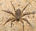 California Gulch spider - Selenops