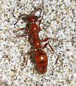 Orange ant or wingless wasp? - Methocha - female