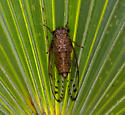 Cicada - ID Please - Neocicada hieroglyphica