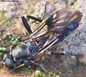 Unknown fly - Exaireta spinigera