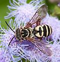 Triepeolus (grandis?) - Triepeolus