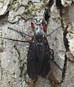 March Fly - Bibio femoratus - female