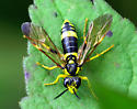 ID please  - Tenthredo basilaris - female
