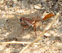 Thread-waisted wasp - Ammophila ferruginosa - female
