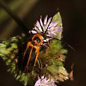 beetle - Chauliognathus pensylvanicus
