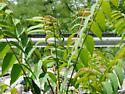 Aculops ailanthii