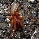 Unidentified spider - Dysdera crocata