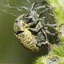 Rhinocyllus species ? - Larinus planus - male - female