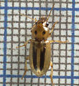 Is this a deviant Xanthogaleruca luteola, elm leaf beetle? - Stenolophus lineola