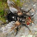 Tachinidae - Archytas - female