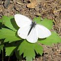 Unknown White Butterfly - Pieris marginalis