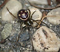 spider, sp - Steatoda grossa