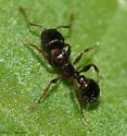 small ants - Tetramorium immigrans