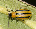 Striped Beetle - Acalymma vittatum
