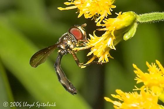 Syrphid Fly - Ocyptamus sp. - Pelecinobaccha costata