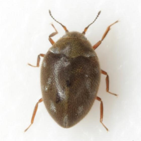 Limnichoderus
