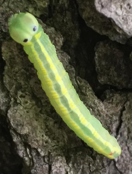 Caterpillar - Ellida caniplaga