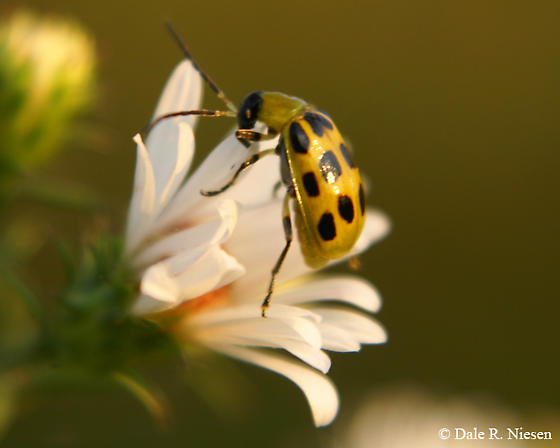 Little Green Beetle with black dots - Diabrotica undecimpunctata