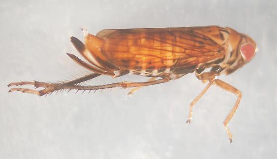 Unknown leafhopper - Jikradia - female