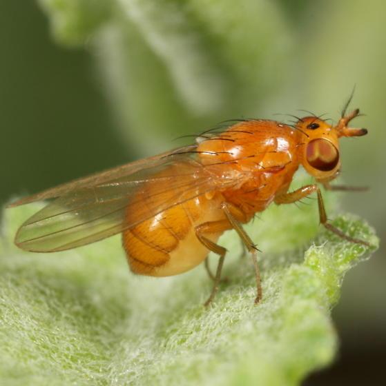 Orange fly - Camptoprosopella