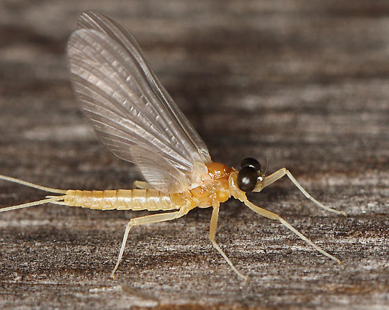 Ephemeroptera - Epeorus