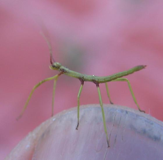 Diapheromera covillea - Diapheromera covilleae