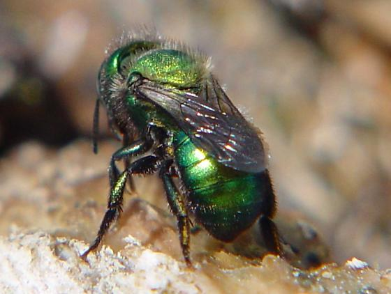 Green metallic bee - halictid? - Osmia - female