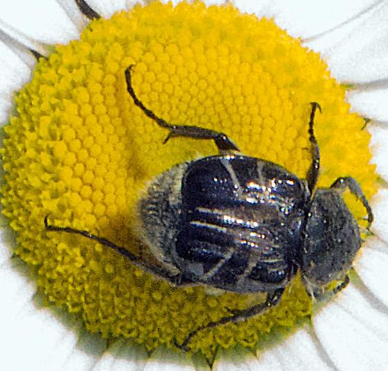 Genus Trichiotinus - Trichiotinus assimilis