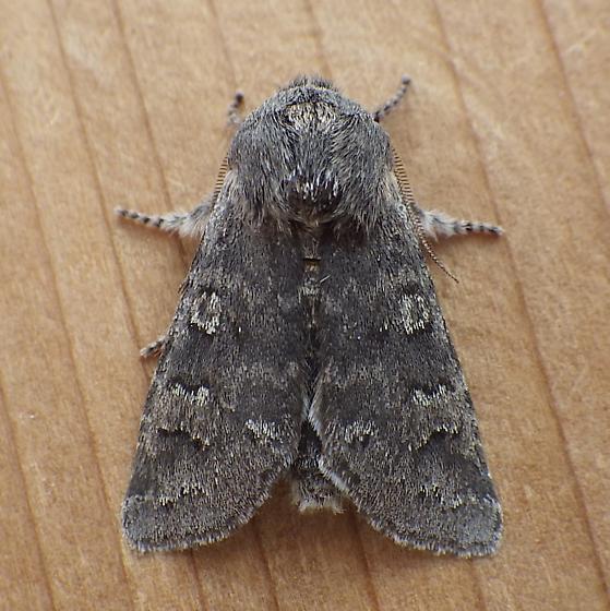 Noctuidae: Psaphida rolandi - Psaphida rolandi