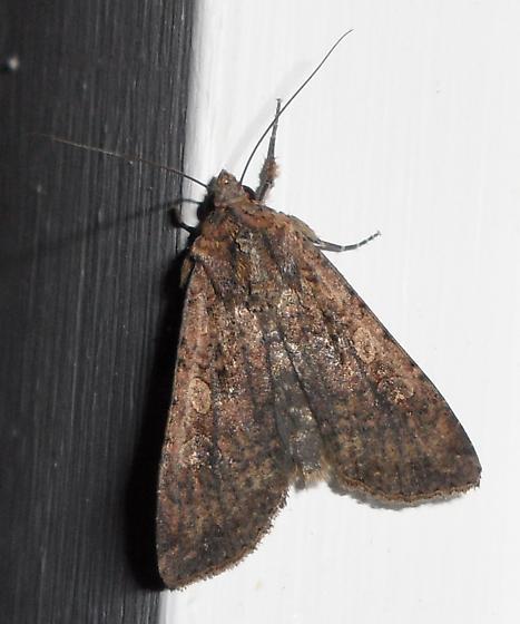 unidentified moth - Peridroma saucia