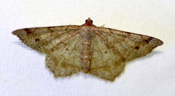 Geometrid moth - Macaria bisignata