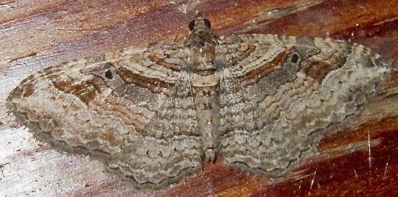 Bent-line Carpet - Costaconvexa centrostrigaria