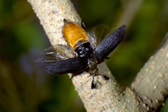 cedar beetle - Sandalus