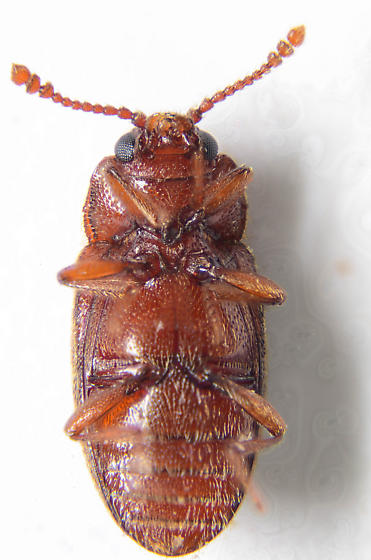 cryptophagid? - Cryptophagus lapponicus