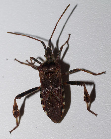 Brown checkered-edge bug - Leptoglossus occidentalis