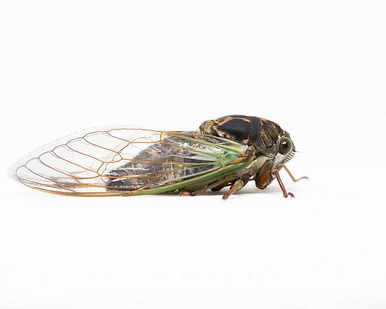 Cicada - Neotibicen lyricen - male