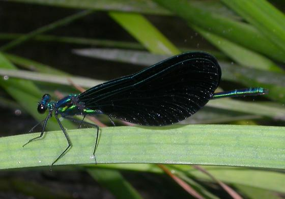 Ebony Jewelwing from TX - Calopteryx maculata - male