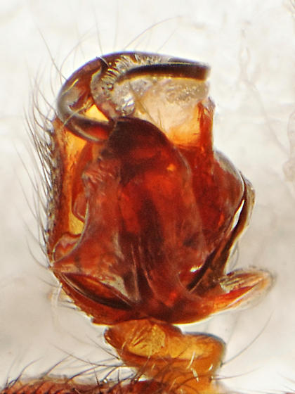 Bathyphantes - Bathyphantes alascensis - male