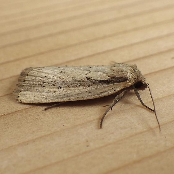 Unknown Moth - Photedes enervata