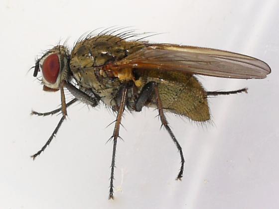 fly - Hydrophoria lancifer