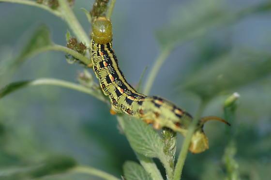 What kind of caterpillar  - Hyles lineataHyles Lineata Caterpillar