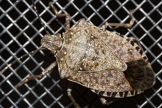 still not moving into the house - Halyomorpha halys